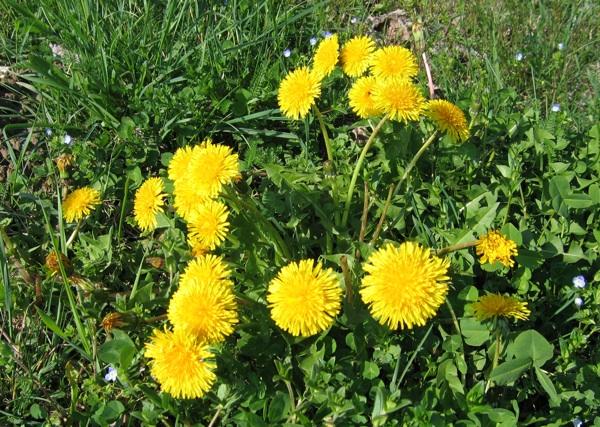 Глуварче, растение што го враќа животот
