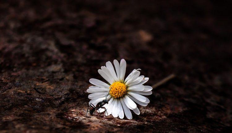 Што прават остарените мравки? Откако ќе им се потрошат забите, вредните мравки се пензионираат и стануваат транспортери
